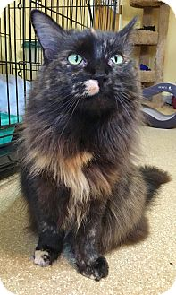 Domestic Mediumhair Cat for adoption in Salisbury, Massachusetts - Joan Jett