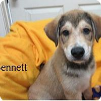 Adopt A Pet :: Bennett - Bartonsville, PA