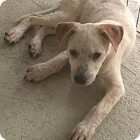 Adopt A Pet :: Ross - St Petersburg, FL