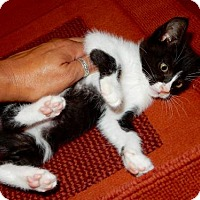Adopt A Pet :: Khaleesi (Tux) - Los Angeles, CA