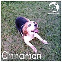 Adopt A Pet :: Cinnamon - Novi, MI