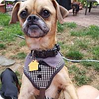 Adopt A Pet :: Puddin - Andalusia, PA