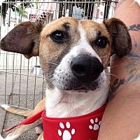 Adopt A Pet :: Shorty - BONITA, CA
