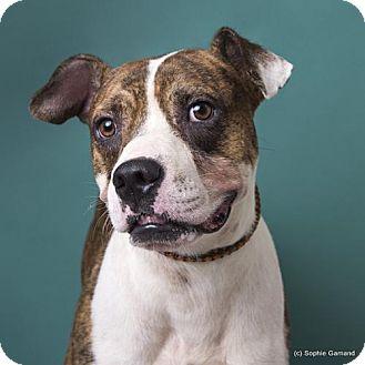 Boxer Mix Dog for adoption in Anniston, Alabama - Ernie