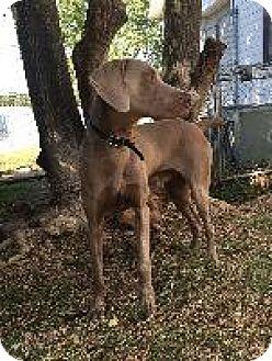 Weimaraner Dog for adoption in Fayetteville, Arkansas - Casper