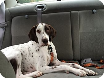 English Pointer/German Shorthaired Pointer Mix Dog for adoption in Alma, Wisconsin - Bianco