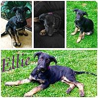 Adopt A Pet :: Ellie - Livermore, CA