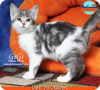 Domestic Shorthair Kitten for adoption in South Bend, Indiana - GiGi