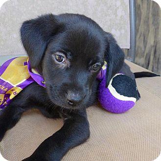 Labrador Retriever Mix Puppy for adoption in Baton Rouge, Louisiana - Huck