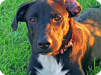 Labrador Retriever Mix Dog for adoption in Tyler, Texas - A-Eeny