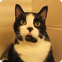 Adopt A Pet :: Chief - Declawed - Richmond Hill, ON