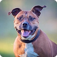 Pit Bull Terrier Mix Dog for adoption in Wichita, Kansas - Asher