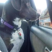 Adopt A Pet :: Beau - Montpelier, VT