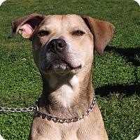 Labrador Retriever/German Shepherd Dog Mix Dog for adoption in Unionville, Pennsylvania - Denver