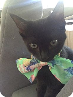 Domestic Shorthair Kitten for adoption in Wildwood, Florida - Lovey