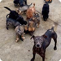 Adopt A Pet :: Jacqueline Shinny Mom to Nine - Corona, CA