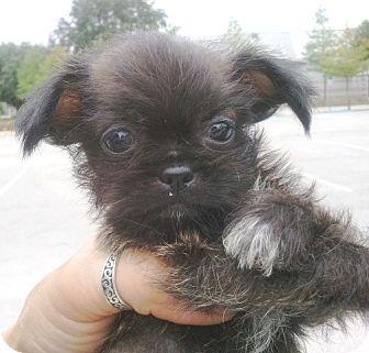 Tzu/Chihuahua Mix Puppy for adoption in Orlando, Florida - Ramos#1M