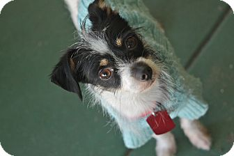 Terrier (Unknown Type, Small)/Chihuahua Mix Dog for adoption in san diego, California - Bentley