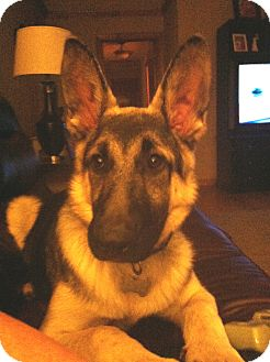 German Shepherd Dog Dog for adoption in Nashville, Tennessee - Hooper