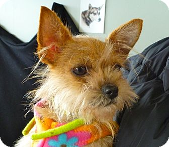 Brussels Griffon/Terrier (Unknown Type, Small) Mix Dog for adoption in Seattle, Washington - Mango