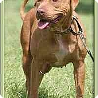Adopt A Pet :: Jazzy - North Fort Myers, FL