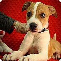 Adopt A Pet :: Shuga' - Broomfield, CO