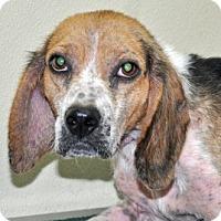 Adopt A Pet :: Hunter - Port Washington, NY