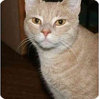 Adopt A Pet :: Lyra - Jenkintown, PA