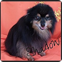 Adopt A Pet :: Shadow - Escondido, CA