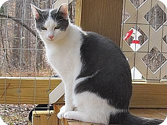 Domestic Shorthair Cat for adoption in Bedford, Virginia - Albert