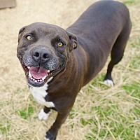 Pit Bull Terrier/Labrador Retriever Mix Dog for adoption in Iola, Texas - Minnie