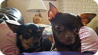 Chihuahua Mix Dog for adoption in Rockford, Illinois - Cookie Crumbs & Minnie Mae