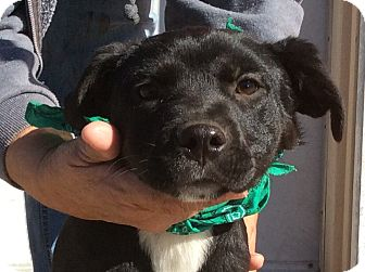 Boxer/Labrador Retriever Mix Puppy for adoption in Albany, New York - Petunia