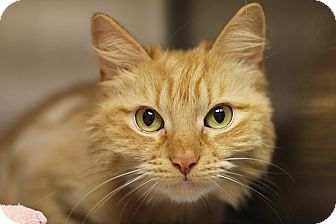 Domestic Shorthair Cat for adoption in Norwalk, Connecticut - Pumpkin