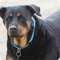 Rottweiler Dog for adoption in Colorado Springs, Colorado - Raven