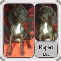 Adopt A Pet :: Rupert in CT - Manchester, CT