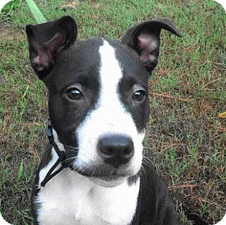 Border Collie/Shar Pei Mix Dog for adoption in Tyler, Texas - AA-Bianca