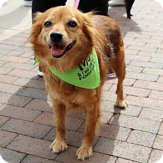 Pomeranian Mix Dog for adoption in Centreville, Virginia - Irene