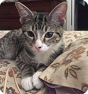 American Bobtail Kitten for adoption in Nashville, Tennessee - Arrow