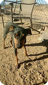 Miniature Pinscher Dog for adoption in Surprise, Arizona - Brodie