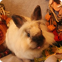 Lionhead Mix for adoption in Hillside, New Jersey - Tilly