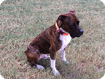 Boxer Mix Puppy for adoption in Austin, Texas - Mac