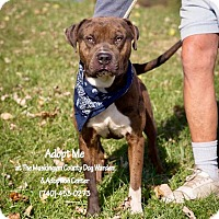 Catahoula Leopard Dog Mix Dog for adoption in Zanesville, Ohio - Chico - Urgent!