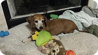 Dachshund Mix Dog for adoption in Cranston, Rhode Island - Maggie-ADOPTED