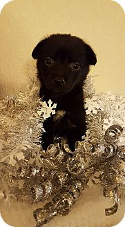 Labrador Retriever Mix Puppy for adoption in Fort Atkinson, Wisconsin - SYDNEY