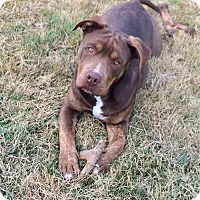 Adopt A Pet :: Max Dennison - gentle giant baby! - Columbia, MD