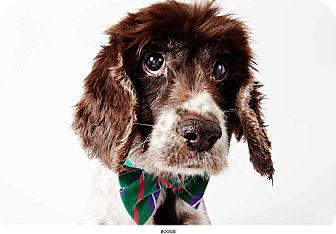 Cocker Spaniel Mix Dog for adoption in New York, New York - Boogie