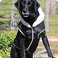 Adopt A Pet :: Sprocket - Albany, NY