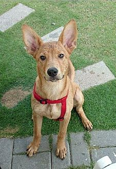 Basenji Mix Dog for adoption in Vancouver, British Columbia - Balloon