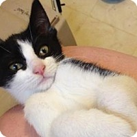 Domestic Shorthair Kitten for adoption in Woodland Hills, California - Rumi